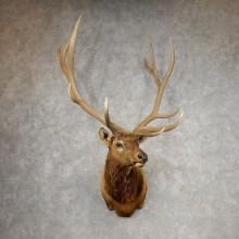 Rocky Mountain Elk Shoulder Mount For Sale #21087 @ The Taxidermy Store