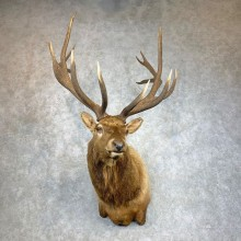 Rocky Mountain Elk Shoulder Mount For Sale #22128 @ The Taxidermy Store