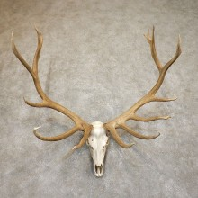 Rocky Mountain Elk Skull European Mount For Sale #19557 @ The Taxidermy Store