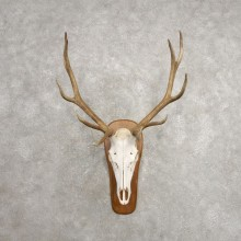 Rocky Mountain Elk Skull European Mount For Sale #20477 @ The Taxidermy Store