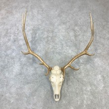 Rocky Mountain Elk Skull Mount For Sale #23096 @ The Taxidermy Store