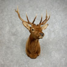 Rocky Mountain Elk Shoulder Mount For Sale #17653 @ The Taxidermy Store