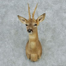 Roe Deer Shoulder Taxidermy Head Mount M1 #12799 For Sale @ The Taxidermy Store
