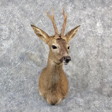 European Roe Deer Shoulder #11549 - For Sale - The Taxidermy Store
