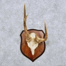 Roe Deer Antler Mount For Sale #14444 @ The Taxidermy Store