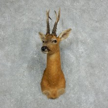 Roe Deer Taxidermy Mount For Sale #18060 @ The Taxidermy Store