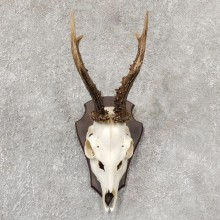European Roe Deer Taxidermy Skull Mount For Sale