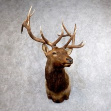 Roosevelt Elk Shoulder Mount For Sale #18608 @ The Taxidermy Store