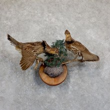 Ruffed Grouse Bird Mount For Sale #19523 - The Taxidermy Store