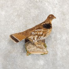 Ruffed Grouse Bird Mount For Sale #19719 @ The Taxidermy Store