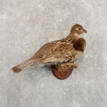 Ruffed Grouse Bird Mount For Sale #19724 @ The Taxidermy Store