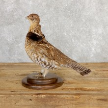 Ruffed Grouse Bird Mount For Sale #19771 @ The Taxidermy Store