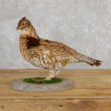 Ruffed Grouse Bird Mount For Sale #19775 @ The Taxidermy Store