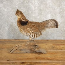 Ruffed Grouse Bird Mount For Sale #20629 @ The Taxidermy Store