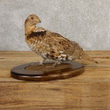Ruffed Grouse Bird Mount For Sale #20772 @ The Taxidermy Store