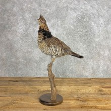 Ruffed Grouse Bird Mount For Sale #21242 @ The Taxidermy Store