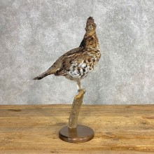 Ruffed Grouse Bird Mount For Sale #21243 @ The Taxidermy Store
