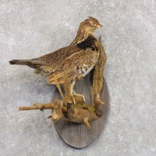 Ruffed Grouse Bird Mount For Sale #22291 @ The Taxidermy Store