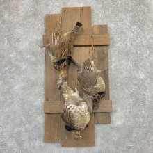 Ruffed Grouse Bird Mount For Sale #22564 @ The Taxidermy Store
