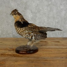 Ruffed Grouse Bird Mount For Sale #17390 @ The Taxidermy Store