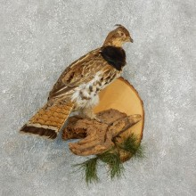 Ruffed Grouse Bird Mount For Sale #17738 @ The Taxidermy Store
