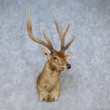 Javan Rusa Deer Shoulder Mount For Sale #15056 @ The Taxidermy Store
