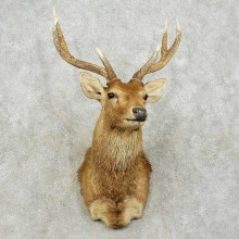 Moulaccan Rusa Deer Shoulder Mount For Sale #15817 @ The Taxidermy Store