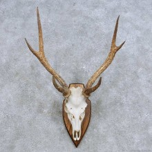 Rusa Deer Skull & Antler European Mount For Sale #14629 @ The Taxidermy Store