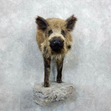 Russian Boar Half Life Size Taxidermy Mount For Sale