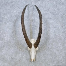 Sable Antelope Skull & Horn Mount For Sale #13965 @ The Taxidermy Store