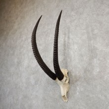 Sable Antelope Skull & Horn Mount For Sale #20022 @ The Taxidermy Store