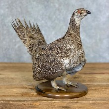 Sage Grouse Bird Mount For Sale #21356 @ The Taxidermy Store