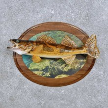 Sauger Fish Mount For Sale #17707 @ The Taxidermy Store