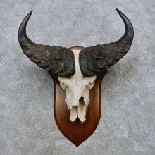 Savanna Buffalo Skull European Taxidermy Mount For Sale