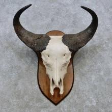 Savanna Buffalo Skull European Mount For Sale #14533 @ The Taxidermy Store