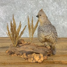 Scaled Quail Taxidermy Bird Mount For Sale #22477 @ The Taxidermy Store