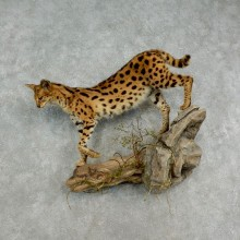African Serval Life-Size Mount For Sale #17031 @ The Taxidermy Store