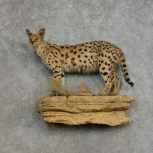 African Serval Life-Size Mount For Sale #17167 @ The Taxidermy Store