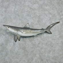 Black Tip Shark Taxidermy Fish Mount #12596 For Sale @ The Taxidermy Store