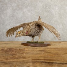 Sharp-tailed Grouse Bird Mount For Sale #20771 @ The Taxidermy Store
