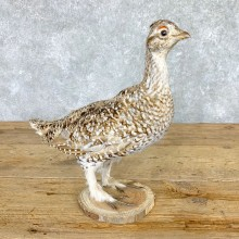 Sharp-tailed Grouse Bird Mount For Sale #21770 @ The Taxidermy Store