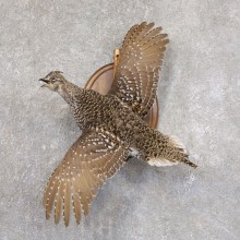 Sharp-tailed Grouse Mount For Sale #22216 @ The Taxidermy Store