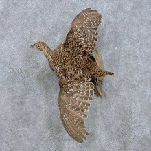 Flying Sharp-tailed Grouse Mount For Sale #14818 @ The Taxidermy Store