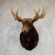 Shiras Moose Shoulder Taxidermy Mount #19319 For Sale @ The Taxidermy Store