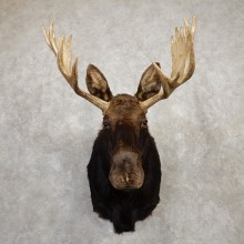 Shiras Moose Shoulder Taxidermy Mount For Sale