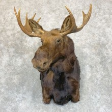 Shiras Moose Shoulder Taxidermy Mount #21741 For Sale @ The Taxidermy Store