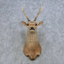 Manchurian Sika Deer Shoulder Mount For Sale #14666 @ The Taxidermy Store