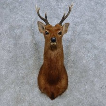 Sika Deer Shoulder Mount For Sale #14667 @ The Taxidermy Store