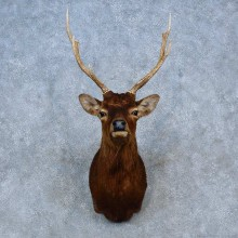 Sika Deer Shoulder Mount For Sale #15296 @ The Taxidermy Store