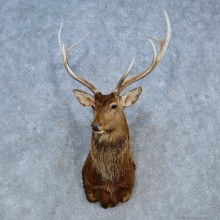 Sika Deer Shoulder Mount For Sale #15324 @ The Taxidermy Store